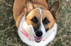История о собаке породы корги, которая выкормила щенков лабрадора