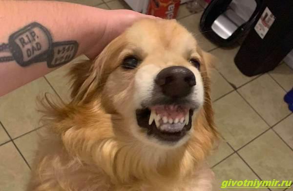 История-о-собаке-со-злобным-оскалом-которую-хотели-усыпить-но-новый-хозяин-научил-её-доброте-1