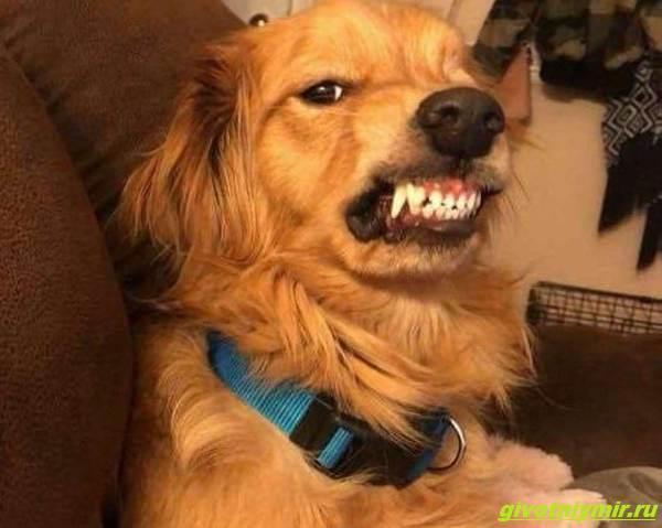 История-о-собаке-со-злобным-оскалом-которую-хотели-усыпить-но-новый-хозяин-научил-её-доброте-2
