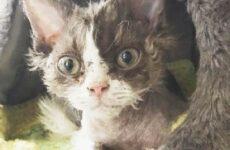 История об угрюмой кошке с необычной волнистой шерстью, которая подружилась с собакой