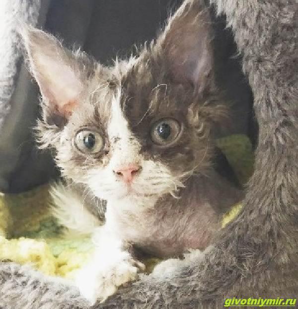 История-об-угрюмой-кошке-с-необычной-волнистой-шерстью-которая-подружилась-с-собакой-2