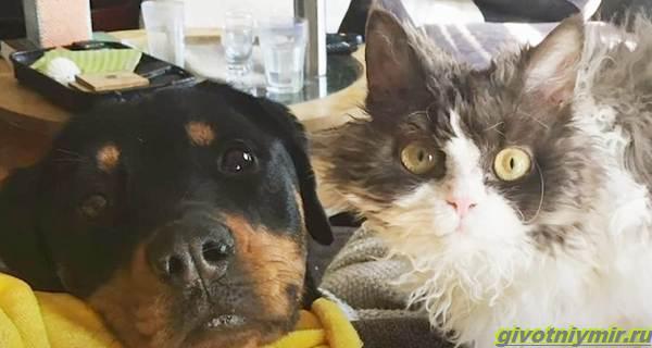 История-об-угрюмой-кошке-с-необычной-волнистой-шерстью-которая-подружилась-с-собакой-4