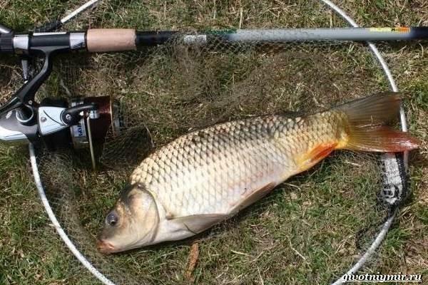 Ловля-карпа-по-открытой-воде-и-зимняя-рыбалка-на-карпов-1