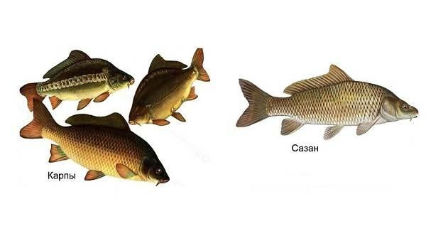Ловля-карпа-по-открытой-воде-и-зимняя-рыбалка-на-карпов-3