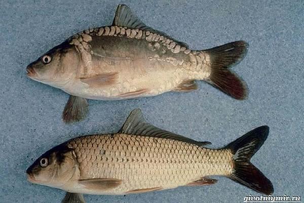 Ловля-карпа-по-открытой-воде-и-зимняя-рыбалка-на-карпов-4