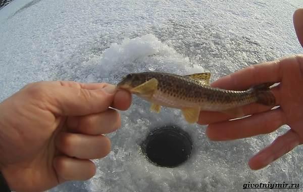 Ловля-пескаря-по-открытой-воде-и-со-льда-5