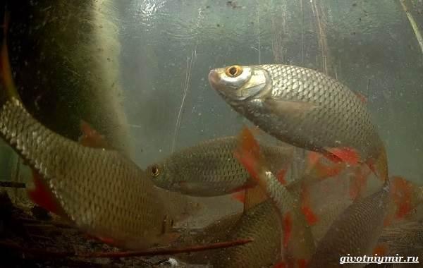 Ловля-плотвы-Как-где-и-на-что-ловить-эту-рыбу-13
