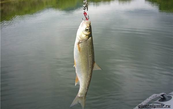Ловля-плотвы-Как-где-и-на-что-ловить-эту-рыбу-2