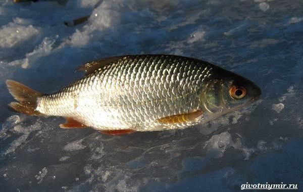 Ловля-плотвы-Как-где-и-на-что-ловить-эту-рыбу-4