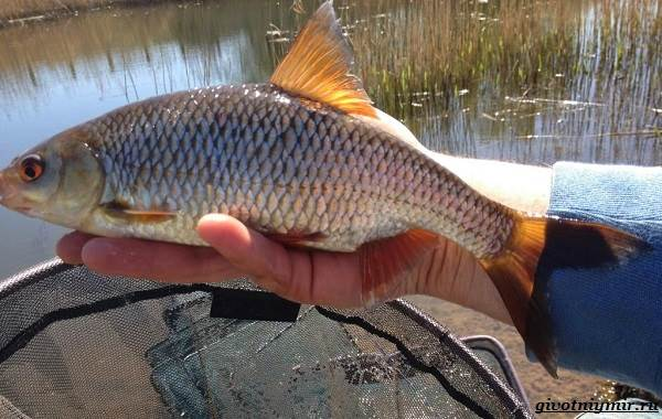 Ловля-плотвы-Как-где-и-на-что-ловить-эту-рыбу-7