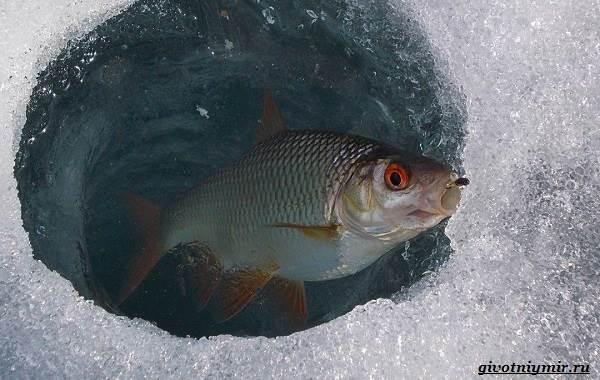 Ловля-плотвы-Как-где-и-на-что-ловить-эту-рыбу-8