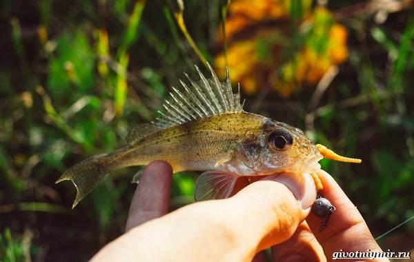 Ловля-пресноводных-рыб-их-виды-особенности-и-среда-обитания-23