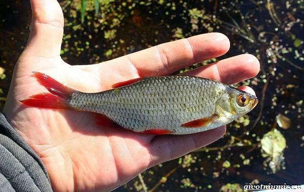 Ловля-пресноводных-рыб-их-виды-особенности-и-среда-обитания-26