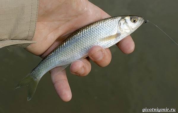 Ловля-пресноводных-рыб-их-виды-особенности-и-среда-обитания-27