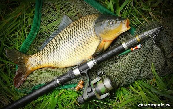Ловля-сазана-Интересные-факты-и-случаи-от-бывалого-рыбака-1