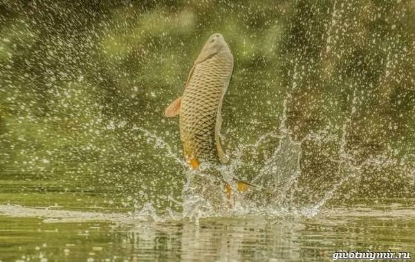 Ловля-сазана-Интересные-факты-и-случаи-от-бывалого-рыбака-2