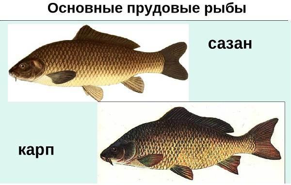 Ловля-сазана-Интересные-факты-и-случаи-от-бывалого-рыбака-3
