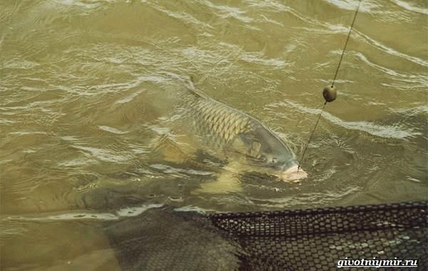 Ловля-сазана-Интересные-факты-и-случаи-от-бывалого-рыбака-7