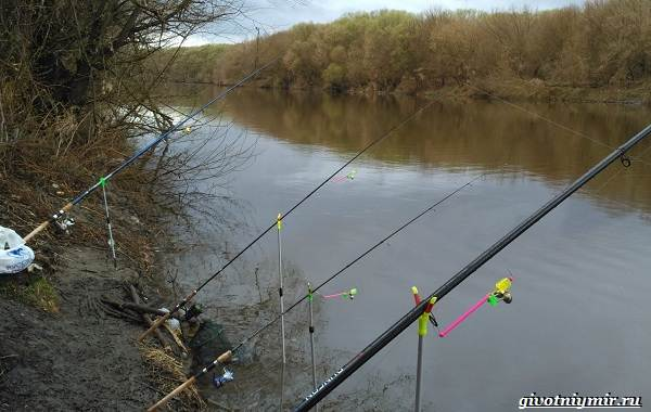 Ловля-сазана-Интересные-факты-и-случаи-от-бывалого-рыбака-8