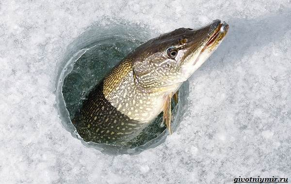 Ловля-щуки-зимой-на-разные-снасти-2