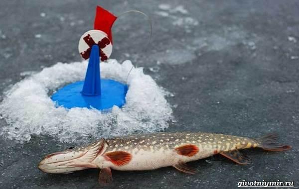 Ловля-щуки-зимой-на-разные-снасти-5