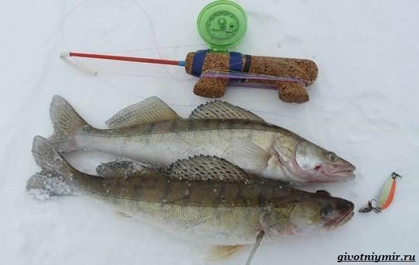 Ловля-судака-зимой-со-льда-и-по-открытой-воде-8