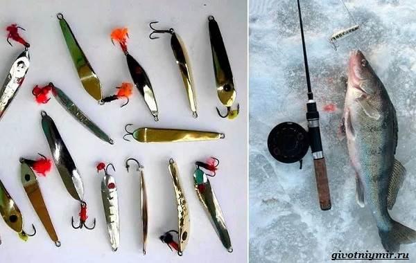 Ловля-судака-зимой-со-льда-и-по-открытой-воде-9