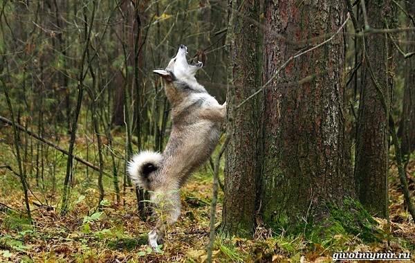 Охота-на-белку-с-собакой-3