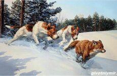 Охота на лису разными способами