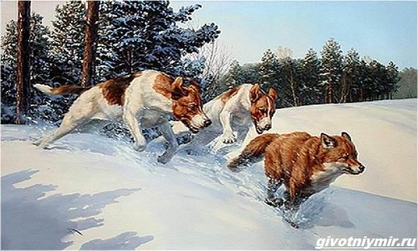 Охота-на-лису-разными-способами-2