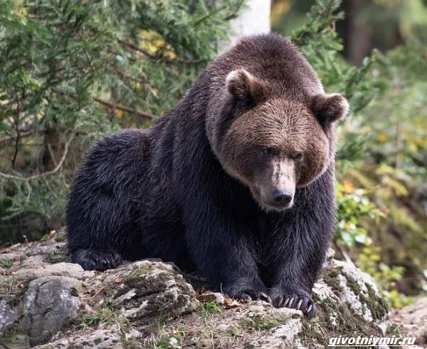 Охота-на-медведя-разными-способами-2