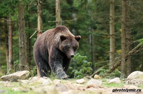 Охота-на-медведя-разными-способами-7