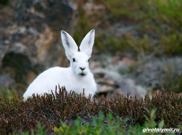 Охота-на-зайца-разными-способами-1