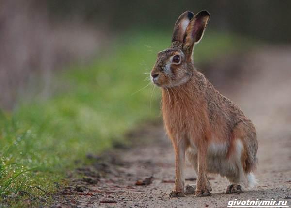 Охота-на-зайца-разными-способами-4