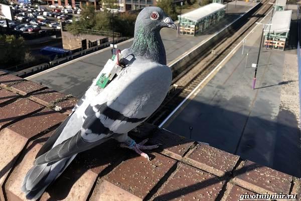 Почтовые-голуби-их-особенности-и-интересные-факты-об-этих-птицах-10