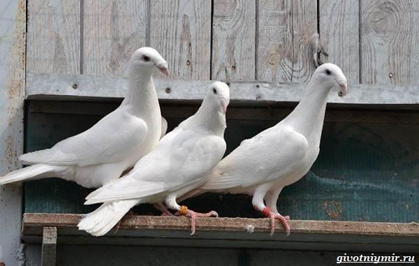 Почтовые-голуби-их-особенности-и-интересные-факты-об-этих-птицах-11