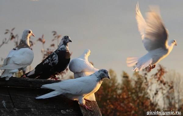 Почтовые-голуби-их-особенности-и-интересные-факты-об-этих-птицах-14