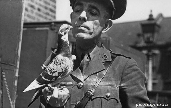 Почтовые-голуби-их-особенности-и-интересные-факты-об-этих-птицах-2