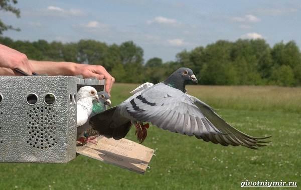 Почтовые-голуби-их-особенности-и-интересные-факты-об-этих-птицах-3