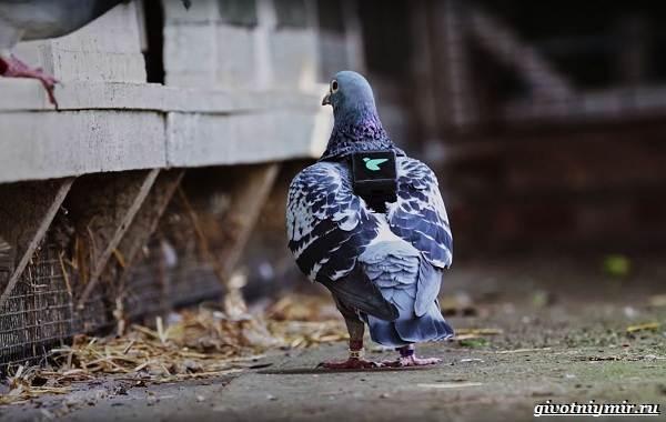 Почтовые-голуби-их-особенности-и-интересные-факты-об-этих-птицах-4