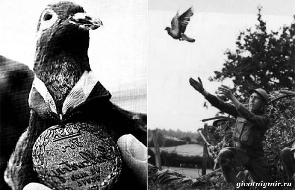 Почтовые-голуби-их-особенности-и-интересные-факты-об-этих-птицах-5