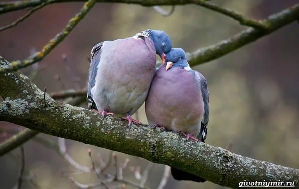 Почтовые-голуби-их-особенности-и-интересные-факты-об-этих-птицах-9