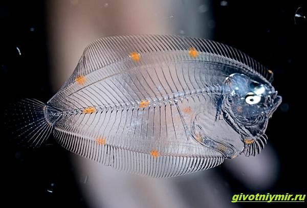 Прозрачные-животные-из-глубины-океана-которых-случайно-снял-фотограф-дайвер-5