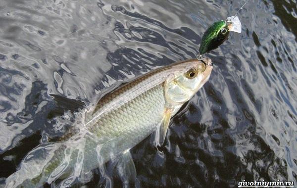 Рыбалка-на-ельца-по-открытой-воде-и-со-льда-10