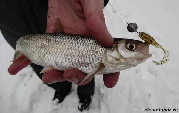 Рыбалка-на-ельца-по-открытой-воде-и-со-льда-7