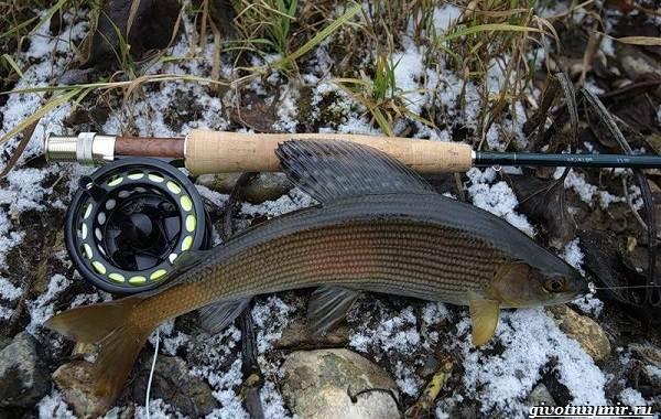 Рыбалка-на-хариуса-по-открытой-воде-и-со-льда-зимой-1