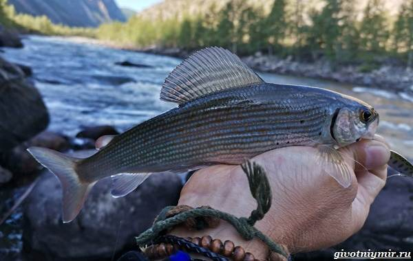 Рыбалка-на-хариуса-по-открытой-воде-и-со-льда-зимой-4