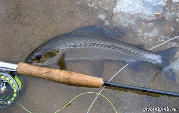 Рыбалка-на-хариуса-по-открытой-воде-и-со-льда-зимой-6