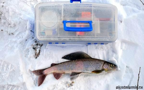 Рыбалка-на-хариуса-по-открытой-воде-и-со-льда-зимой-7