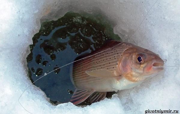 Рыбалка-на-хариуса-по-открытой-воде-и-со-льда-зимой-9